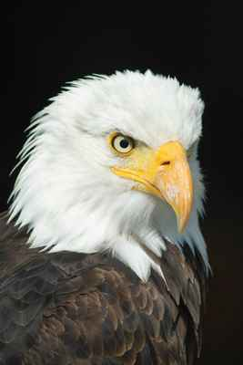 Poster Tiere Bald Eagle Adler Vogel Of Prey