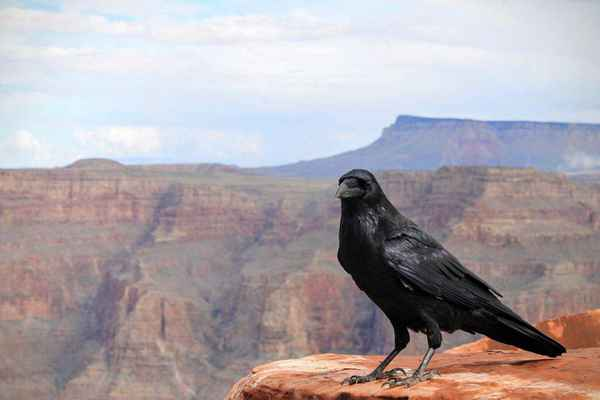 Poster Tiere Raven Crow Vogel Grand Canyon National