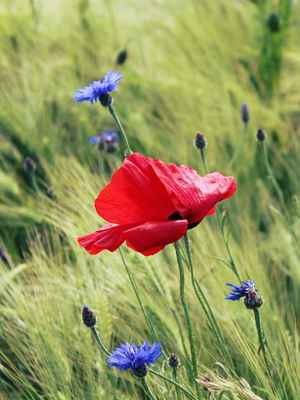 Poster Poppy Rot Klatschmohn Feld Of Poppies Blumen