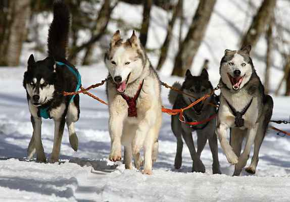 Poster Huskies Husky Blau Eye Hund Schnee Race Download
