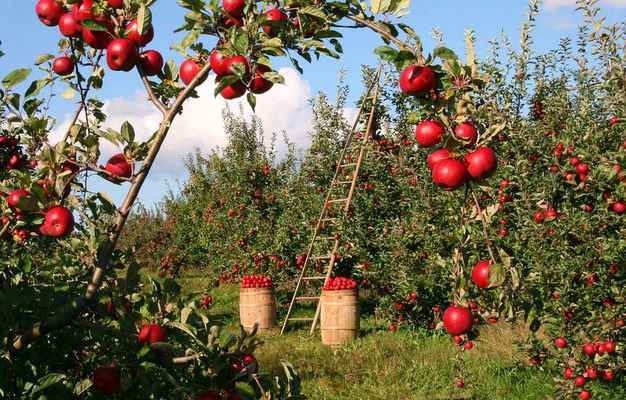 Poster Apfel Baum Orchard Rot Grün Ladder Harvest Download
