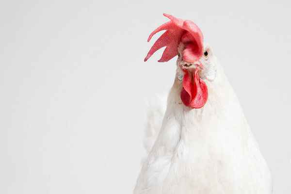 Poster Makro Cock Chicken Tier Background Download