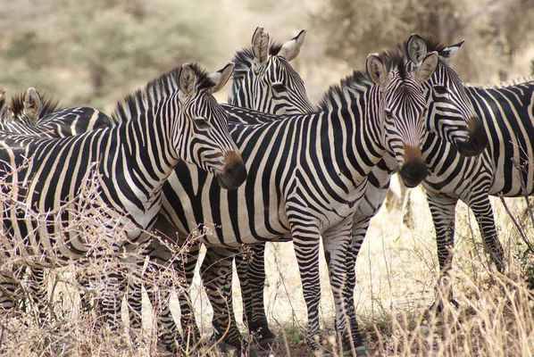 Poster Zebra Africa Natur Wildlife Tier Mammal Download