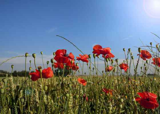Poster Poppy Frühling Papaver Klatschmohn Rot Wiese Feld Download