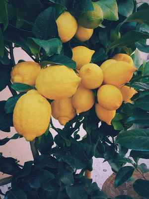 Poster Lemon Baum Lemons Citrus Gelb Organic Crop Download
