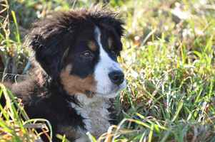 Poster Tiere Hund Bernese Berg Big Tier Family
