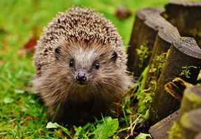Poster Hedgehog Kind Young Tier Spur Natur Garten