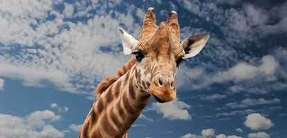 Poster Giraffe Tier Witzig Facial Expression Mimic Neck