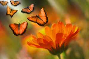 Poster Butterfly Insekt Tier Blumen Marguerite Sommer Orange