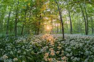 Poster Wald Bear's Garlic Sonnenuntergang Sonne Plants See Download