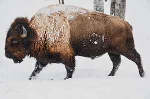 Poster Bison Winter Wild Tier Natur Wildlife Schnee