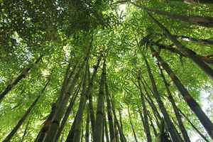 Poster Bamboo Wald Hawaii Natur Grün Pflanze Baum Download