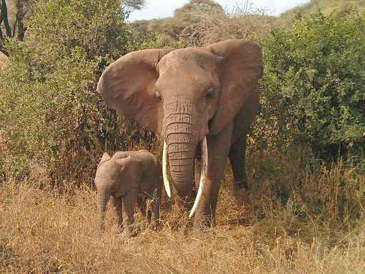 Poster Tiere Elefant Tiere Africa Download