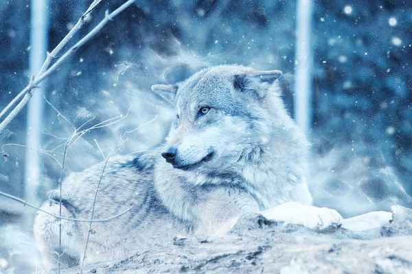 Poster Wolf Tier Schnee Winter Raubtier Liegend Natur Download